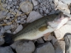 Spotted Bass April 25