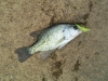 10 inch Crappie