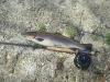 Wilson Creek Rainbow Trout